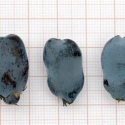 Camerisier Tundra