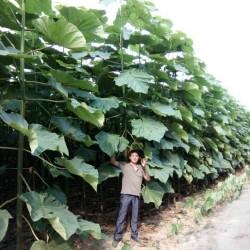 Paulownia tomentosa - biomasse
